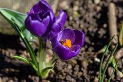 Violette bloem en bij Stock Foto's
