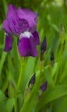 Violette bloem met de knoppen Stock Foto