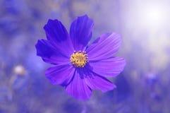 Violette bloem op een gekleurd blauw close-up als achtergrond Stock Foto's
