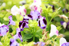Violette bloem Torenia Royalty-vrije Stock Fotografie