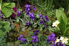 Violette bloem Wilde viooltjes op een weide in aard Wilde viooltjes in de lente op een zonlicht Natuurlijke achtergrond, bloemenp stock fotografie