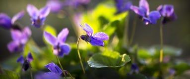 Violette bloembanner Stock Fotografie