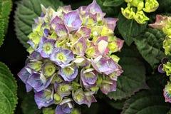 Violette bloemblaadjes stock foto