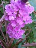 Violette bloemen royalty-vrije stock foto