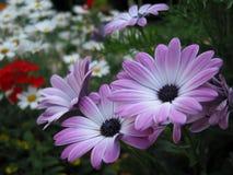 Violette bloemen Royalty-vrije Stock Fotografie