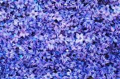 Violette bloemen Stock Afbeeldingen