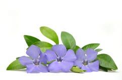 Violette bloemen Stock Afbeelding