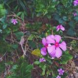 Violette bloemen Stock Foto