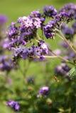 Violette bloemen Stock Fotografie