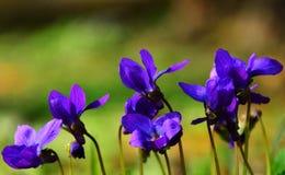 Violette bloemen Stock Foto's