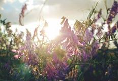 Violette bloemen bij het gouden uur royalty-vrije stock foto's