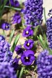 Violette bloemen Blauwe violette Viooltjes in de lente op een weide in groen gras in aard Bloemen patroon De lente en de zomerblo stock foto