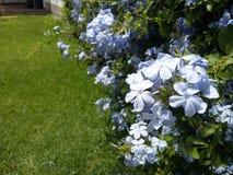Violette bloemen in de tuin Stock Afbeeldingen