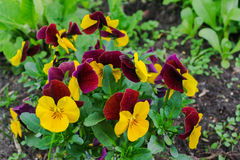 Violette bloemen in de tuin Royalty-vrije Stock Foto's