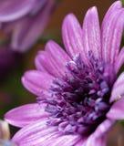 Violette bloemen die de zon enjoing Royalty-vrije Stock Afbeeldingen