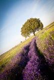 Violette bloemen en holm eik in een zonnige dag Royalty-vrije Stock Foto