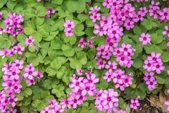 Violette bloemen en verlof Royalty-vrije Stock Fotografie