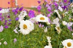 Violette bloemen in het bloembed royalty-vrije stock afbeelding