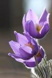 Violette bloemen in het bos stock afbeelding