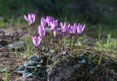 Violette bloemen in het bos op zonnige dag stock fotografie