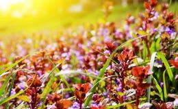 Violette bloemen op een achtergrondzonsopgang Royalty-vrije Stock Fotografie