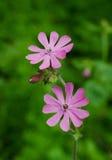 Violette bloemen op een gebied Stock Afbeeldingen