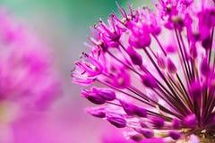 Violette bloemen op gebied Stock Foto's