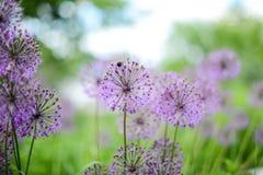 Violette bloemen op het groene gebied royalty-vrije stock afbeelding