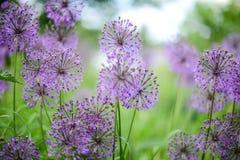 Violette bloemen op het groene gebied Desktopachtergrond royalty-vrije stock afbeeldingen