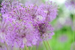 Violette bloemen op het groene gebied Desktopachtergrond Stock Foto