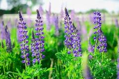 Violette bloemen op het groene gebied Zonnige dag royalty-vrije stock foto
