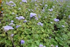 Violette bloemen van Ageratum-houstonianum in Juli stock afbeelding