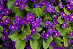 Violette bloemenachtergrond. Stock Afbeeldingen