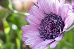Violette bloemrug loock Stock Afbeelding