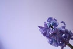 Violette Blume Stockfotografie