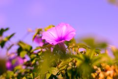 Violette Blume lizenzfreie stockfotos