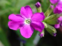 Violette Blume Stockfoto