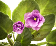 Violette Blume Stockbild