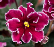 Violette Blume Stockfotos