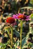 Violette Blume auf dem Feld Stockbild