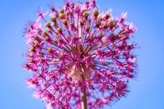 Violette Blume auf einem Hintergrund des blauen Himmels Purpurrote Beschaffenheit der Schönheit Stockfotografie
