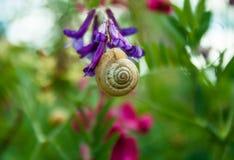 Violette Blume der Blüte und Schlafschnecke Stockfotos