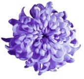 Violette Blume der Chrysantheme lokalisiert mit Beschneidungspfad auf einem weißen Hintergrund Dunkle violette Mitte der schönen  Lizenzfreies Stockfoto