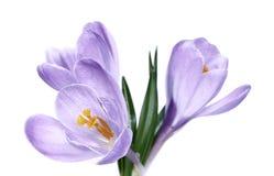 Violette Blume des Krokusses lokalisiert Stockbilder