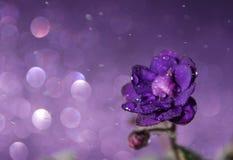 Violette Blume mit Wasser fällt, mit Höhepunkten und spritzt auf einem purpurroten Hintergrund S lizenzfreie stockbilder