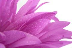 Violette Blume mit waterdrops Lizenzfreie Stockfotografie