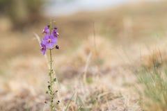 Violette Blume purpurrotes mullein Verbascum phoeniceum Stockfotografie