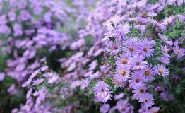 Violette Blumen Stockbild