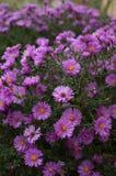 Violette Blumen Stockfotos