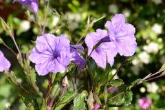 Violette Blumen Lizenzfreie Stockbilder